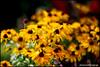 rikenon50 yellows2 at f1.4 (ChristianRock) Tags: nature garden 50mm pentax bokeh 50mmf14 rikenon ricoh50mmf14 rikenon50mmf14 k20d pentaxk20d rikenonxr50mmf14