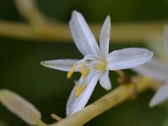 CSC_6475 (Hachimaki123) Tags: plant flower planta flor