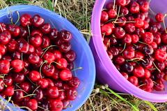 Kirschen pflcken (moucreation) Tags: vegetables cherry essen nikon dorf village sommer natur bio mona mou lecker obst followme kirschen pflcken udelfangen followmeplease moucreation opasbaum