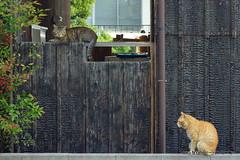 (GINPA ) Tags: sony ho  a77   islandcat