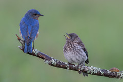Bluebirds, dad and baby (Phiddy1) Tags: ngc npc