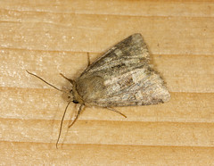 T5184x3456-00095 (StevieD70) Tags: nature garden insect nocturnal aberdeenshire wildlife moth lepidoptera stevied70 nj9940632075