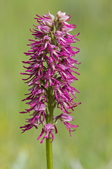 Orchis × bergonii Nanteuil (Sinkha63) Tags: france orchid flower fleur orchidaceae getty fra gettyimages orchis orchidhybrid wildorchid drôme rhônealpes hybride orchissimia manorchid orchisanthropophora poyols orchisxbergonii orchissinge orchishommependu annesorbes monckeyorchid orchissimiaxorchisanthropophora