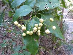 Schizomeria ovata 7 (barryaceae) Tags: park new plants wales bay south australia national heath species crowdy heathplants