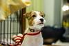 "Look at Me (moaan) Tags: leica portrait dog japan puppy 50mm russell dof bokeh indoors kobe jp utata m8 jackrussellterrier 2014 kinoko terrier"" ""jack thelittledoglaughed leicam8 leicasummicron50mmf20dr summicron50mmf20dr hyoggo thelittledoglaughedstories insideofaroom"