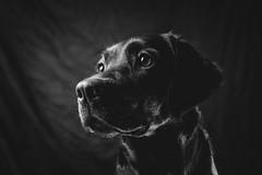 Connie BW (Tomas.Kral) Tags: bw dog pet animal studio blackwhite labrador fujifilm strobe speedlite yn560ii x100s