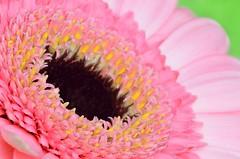 Pink Yellow and Black (Steven H Scott) Tags: uk pink flower macro up yellow peta