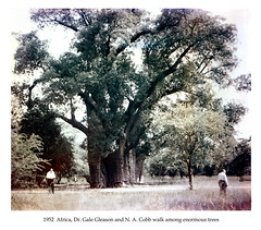 1952  Africa , Dr. Gale Gleason and N. A. Cobb walk among enormous trees (ORIGINAL 400dpi 24-bit) (cobbbr) Tags: africa travel original safari 1950s cobb 1952 noborder imagetypephoto imagesizeframe
