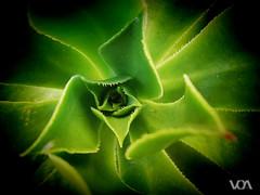 Verode (El Orfebre Mochilero) Tags: plant planta nature islands canary crasa verode verede