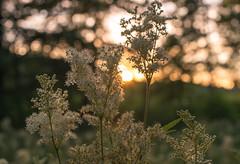 Flowers in the evening sun (Storkholm Photography) Tags: flowers sunset summer plants sun green nature night 50mm evening nikon sweden bokeh scandinavia 50mmf14 d610 mariefred södermanland