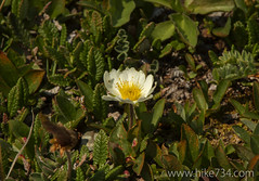 """White Dryas • <a style=""""font-size:0.8em;"""" href=""""http://www.flickr.com/photos/63501323@N07/14719384910/"""" target=""""_blank"""">View on Flickr</a>"""