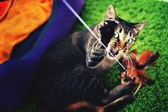 Predator (ehwfok) Tags: playing cat 35mm hongkong nikon fierce kitty greeneyes angry playful claws d90 domesticshorthair