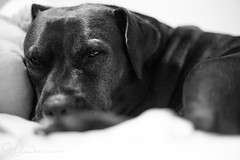 Sleepy (AlyKPhoto) Tags: blackandwhite bw rescue dog pet love loving happy friend memories happiness canine pit pitbull bully bestfriend mydog loyal staffordshireterrier