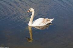 Elegance (Eiona R.) Tags: wales swan unitedkingdom burryport wfcburryport2014