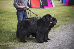 Three Musketeers (ellie johansen) Tags: show dog black cute dogs face oslo norway canon newfoundland big furry faces fuzzy large huge tounge breed enormous nkk utstilling breeds bjerke 60d