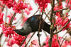 Heavenly Nectar Tui Parson Bird Deep Pink Taiwan Cherry Blossom New Zealand (eriagn) Tags: pink winter newzealand fern bird rain weather cherry petals bath birdbath blossom wildlife feathers naturalhistory foliage auckland flowering nectar species iridescent bathing habitat endemic tuft tui plumage mteden nativebird parsonbird songster littlestories taiwancherry formosacherry prunuscampanulata edengarden birdbehaviour taiwanesecherry overtheexcellence picswithsoul eriagn ngairelawson ngairehart