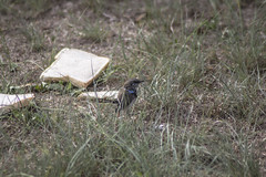 IMG_1597 (rojam1000) Tags: superb fairy variegated wren