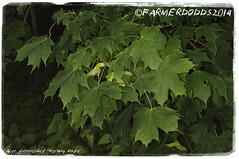 Acer platanoides 'Norway Maple' (farmer dodds) Tags: tree maple acer herb codurham aceraceae acerplatanoides norwaymaple introducedspecies