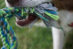 (lukepapamihail) Tags: macro cute dogs closeup mouth sony teeth rope bordercollie alpha a6000