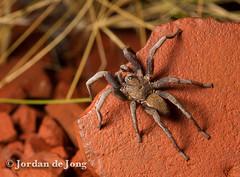 Trapdoor Spider, Idiomatta sp.jpg (Jordan de Jong) Tags: nature fauna spider wildlife arachnid australia westernaustralia invertebrate pilbara minibeast barychelidae idiomatta
