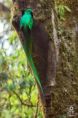 Resplendent Quetzal - Pharomachrus mocinno (Jorge De Silva R) Tags: birds de mexico la aves el chiapas triunfo quetzal reserva resplendent biosfera pharomachrus mocinno