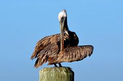 Morning Cleaning  DSC_0491 (John Dreyer) Tags: nikon birding
