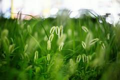 A Nip of Autumn (moaan) Tags: light japan lomography dof bokeh 85mm kobe jp utata f22 zenit japanesepampasgrass hyogo 2014 fluorescentlight canoneos5dmarkiii petsval lomographyzenitpetzval lomographyzenitpatzval85mmf22