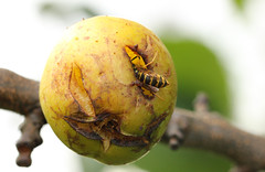 Let me get my Gums around your Plums. (Steviethewaspwhisperer) Tags: tree wasp plum common wasps plums commonwasp greengage greengaes