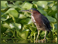 You'll get the point (WanaM3) Tags: bird heron nature texas wildlife sony ngc pasadena canoeing paddling greenie a57 greenheron waterhyacinth clearlakecity avianexcellence wanam3 sunrays5 sonya57