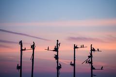 (trapsocks) Tags: sunset nikon cormorant d90