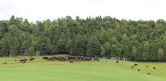 Buffalos (pegase1972) Tags: usa animal us vermont unitedstates cattle farm newengland bison vt buffalos étatsunis