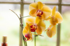 Orchid soft light (Pierre H Marchand) Tags: light orchid flower macro nature yellow canon canonxti