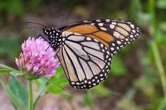 Butterfly - Lexington (mikemcnary) Tags: macro closeup butterfly insect wildlife jacobsonpark lexington kentucky yellow purple flower orange summer digital