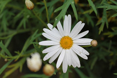 Lone Daisy (mathew.leggett) Tags: white green nature water yellow drops daisy waterdrops mathew leggett mathewleggett