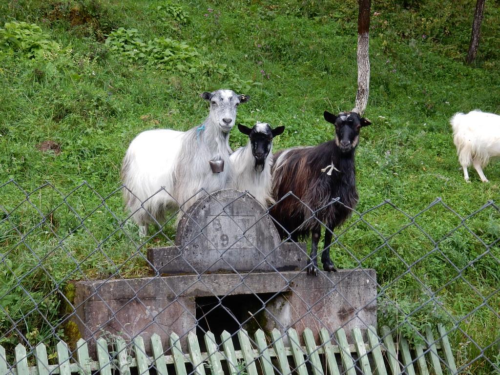 Goats, Goats, Goats