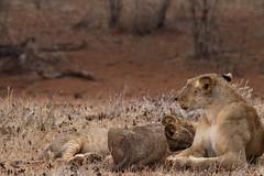 Afternoon Drink (sr667) Tags: africa female canon kenya lion ken sigma ke cubs eastern samburu lioness animalia mammalia panthera isiolo carnivora pantheraleo felidae chordata samburunationalreserve pantherinae 150500mm isioloeasternkenya
