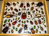 Display box of collected specimens. (The Bearded Spider) Tags: arizona festival insect spiders sony insects dsch3