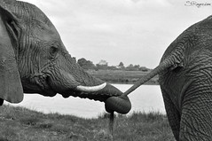 You lead and I will follow (Stephanie Faye Rogerson) Tags: africa bay holding hands african south tail follow trunk elephants crags lead plettenberg