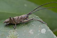 Epepeotes sp.? IMG_8787 copy (Kurt (OrionHerpAdventure.com)) Tags: beetle coleoptera longhornbeetle cerambycidae longhornedbeetle cerambycid coleopteran tropicalbeetles