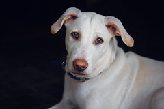 Portrait of a white dog with a pink nose - India (cococinemacom) Tags: life street travel pink light dog india white man black cute beautiful look animal dark observation asian nose zoo daylight nice eyes asia warm natural bright outdoor head background live indian lies handsome ears clean bombay maharashtra mumbai mongrel zoology veterinarymedicine dogcollar zoological contemplat viewface lookingatthepicture