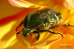 Flower chafer ~~ (Dave ***) Tags: flower color macro closeup dave bug beetles pedal rosenkfer flowerchafer splashofcolors