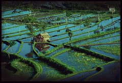 Mirrored Fields, Bali (greggusan) Tags: bali film rural indonesia countryside nikon asia fuji farm ngc negative fields farmer besakih ricefields planting riceterraces f70 southeastaisa