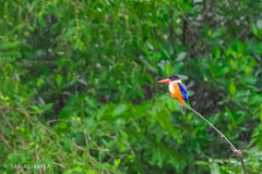 Rainy Day (Sai Adikarla) Tags: bird nikon wildlife kingfisher blackcappedkingfisher