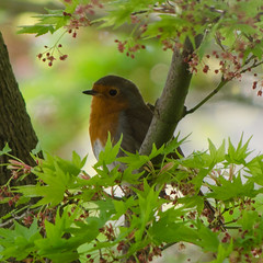 101/365 - My favourite visitor (Spannarama) Tags: tree bird robin leaves square japanesemaple april 365 outofmywindow 2014