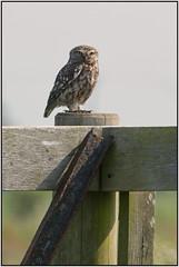 Little Owl (image 4 of 4) (Full Moon Images) Tags: bird nature little wildlife bcn reserve national owl trust prey fen cambridgeshire birdofprey woodwalton nnr greatfen greatfenproject