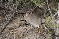 Woylie - Bettongia penicillata (Wildsearch) Tags: bettongiapenicillata brushtailedbettong endangered mammals threatenedspecies woylie