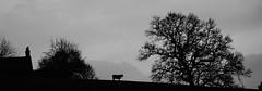 The Lone Grazer (JamieHaugh) Tags: silhouette somerset glastonbury england sony a6000 blackandwhite blackwhite bw monochrome outdoors bull trees house hill uk nature britain