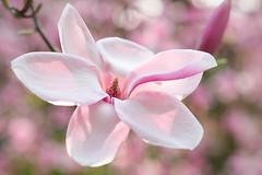 un moment de grâce (christophe.laigle) Tags: rose bokeh fleur macro xf60mm nature flower fuji pink xpro2 softness christophelaigle ngc npc magnolia