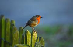Robin (Gaz-zee-boh) Tags: waterlowpark london n6 robin nature bird avian robinredbreast nikon d7k almostanything red publicpark