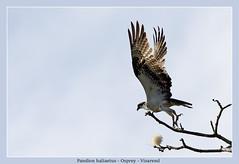 Osprey (Jan H. Boer, Nature photographer) Tags: pandionhaliaetus osprey visarend birds birdsofprey nature wildlife costarica loschiles ríofrío nikon d5200 afsnikkor200500f56eedvr jan´sphotostream2017